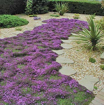 Home > Ground Covers > Creeping Thyme